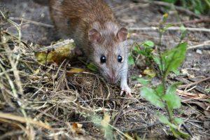 הרחקת עכברים
